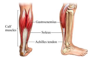 calf muscle diagram